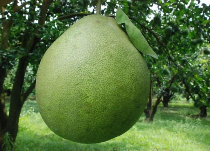 กลิ่น Pomelo (ส้มโอ)
