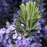 กลิ่น Rosemary 60ml.