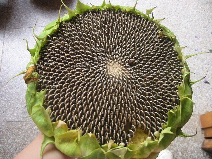 ทานตะวันนกจาบขาว - White Meadow Bunting Sunflower