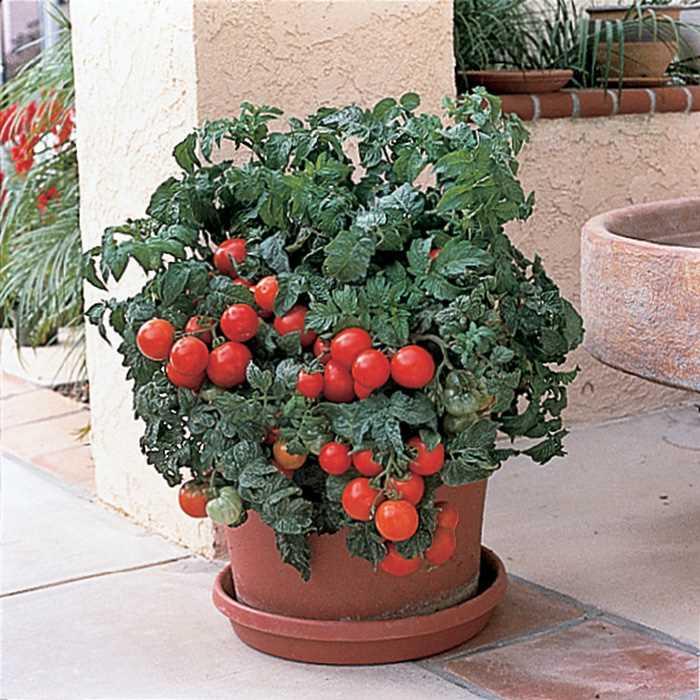 มะเขือเทศปาติโอ้ - Patio Tomato F1