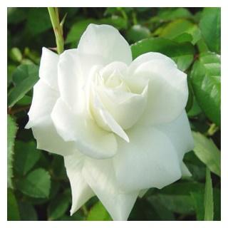กลิ่นดอกพุตซ้อน
