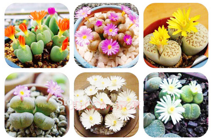 ดอก Lithops Seeds Living Stones Succulent Cactus Mix(คละสี) / 20 เมล็ด