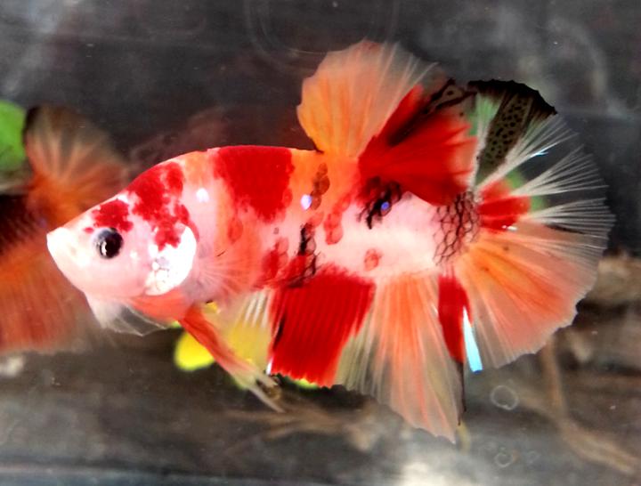 (สามสี)ปลากัดคัดเกรดครีบสั้น - Halfmoon Plakad Fancy KOI 3 สี Premium Quality Grade