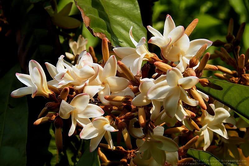 หัวน้ำหอมดอกจันกระพ้อ Chankrapor