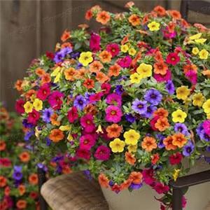 ดอกพิทูเนียการ์เด้นคละสี 10เมล็ด/ซอง